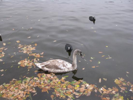 Svaner og ænder i Spree